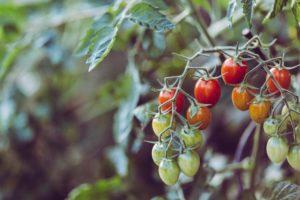 Tomatenstrauch mit Tomaten in verschiedenen Reifestadien