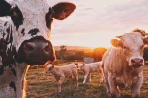Kühe auf einer Weide im Sonnenuntergang